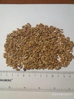 Объявление Продаю пшеницу 3 класс в Алтайском крае
