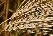 Объявление Семена ярового ячменя Вакула в Краснодарском крае