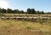 Объявление Овцы 140 голов в Алтайском крае