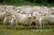 Объявление Продаем племенных овец Романовской породы в Рязанской области