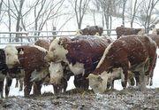 Объявление Коровы герефорд в Новосибирской области