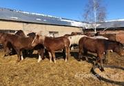 Объявление Продам лошадей в Новосибирской области