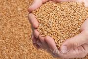 Объявление Пшеница 3 класса в Республике Адыгее