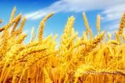 Объявление Предлагаем продать нам оптом пшеницу 4 класса в Краснодарском крае