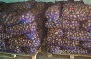 Объявление Картофель Гала 2000 тонн калибр 6 плюс в Алтайском крае