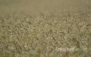 Объявление Семена твердой пшеницы Диона элита в Ростовской области