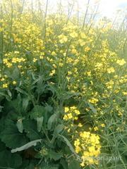 Объявление Продаю семена гибридов ярового рапса в Алтайском крае
