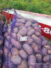 Продаю Картофель сорт Розара калибр 5+ крупный и мелкий опт от производителя НСО село Быково в Новосибирской области