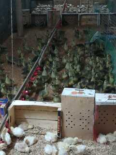 Объявление Продаю гусят Серый крупный и Линда в Омской области