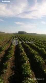 Объявление Картофель калибр 4-5 см крупным и мелким оптом от производителя НСО село Быково в Новосибирской области