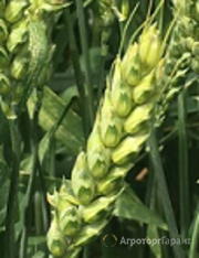 Объявление Семена озимой пшеницы Алексеич, Краса Дона, Капризуля, Станичная, Баграт, Гурт, Аксинья, Изюминка в Ростовской области