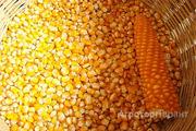 Объявление Семена кукурузы гибриды Краснодарский 291, СКАП 201 и др. в Краснодарском крае