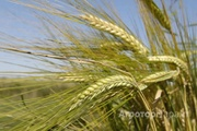 Объявление Семена ярового ячменя сорт Леон ЭС/РС1/РС2 в Ростовской области