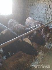 Объявление Продаю бычков на мясо в Республике Дагестан