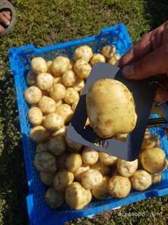 Объявление Продаю картофель сорт Ривьера!!! в Алтайском крае