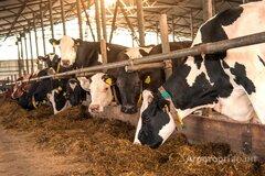 Объявление Колхоз реализует племенных нетелей черно пестрой породы. Продажа КРС в Алтайском крае