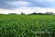 Объявление Семена суданской травы Камышинская 51 в Краснодарском крае