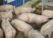 Объявление Свиньи на доращивание в Самарской области
