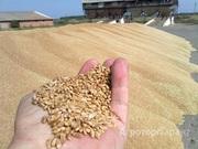 Объявление Пшеница 3 класс с хозяйства в Алтайском крае
