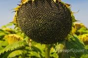 Объявление Семена подсолнечника гибрид Ультро в Ростовской области