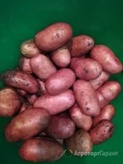 Объявление Продам картофель в Калужской области