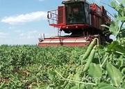 Объявление Продам горох нового урожая в Алтайском крае