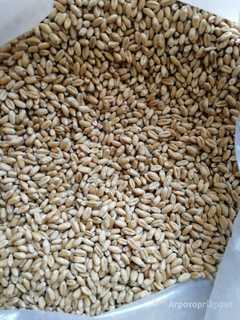 Объявление Пшеница для проращивания в Ростовской области