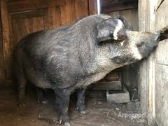 Объявление Свиноматки и поросята  Венгерская Мангалица в Челябинской области