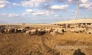 Объявление Продаю овец в Алтайском крае
