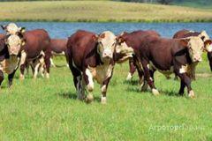 Объявление КРС, бычки, телята, коровы породы Герефорд в Свердловской области
