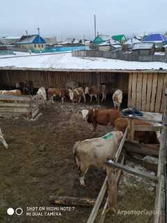 Объявление Бычки, телята, нетели, коровы, телки в Республике Башкортостан
