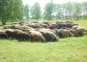 Объявление Отара Эдильбаевских овец в Алтайском крае