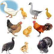 Объявление Продаем птицу и яйцо в Москве и Московской области