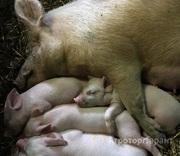 Объявление Поросята мясной породы в Тульской области