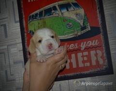 Объявление Продаются породные щенки бигль,биколор в Архангельской области