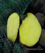 Объявление Картофель Розара оптом от 1 тонны в Новосибирской области