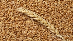 Объявление Закупаем пшеницу, ячмень, кукурузу, лён, сою в Самарской области