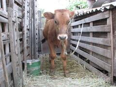 Объявление Продаю корову и бычка в Ростовской области