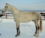 Объявление Лошади орловской рысистой породы в Алтайском крае