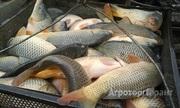 Объявление Рыба: карп, белый амур, толстолобик в Алтайском крае