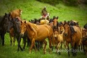 Объявление Разводим и продаем лошадей в Алтайском крае