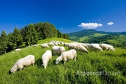Объявление Разводим и продаем овец в Алтайском крае
