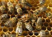 Объявление Организация реализует пчелосемьи, пчелопакеты, карпатка, 3+1 в Алтайском крае