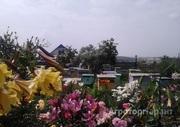 Объявление Продам 50 пчелосемей в Алтайском крае