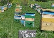 Объявление Пчелы средне-русской породы в Алтайском крае