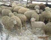 Объявление Продам ОВЕЦ тонкорунной породы в Алтайском крае