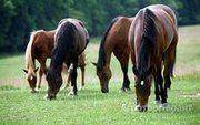 Объявление Продам лошадей 60 голов в Алтайском крае
