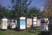 Объявление Продам МЁД оптом разнотравье-подсолнух в Алтайском крае