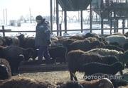 Объявление БАРАНЫ эдельбаевской породы, молодняк, на племя  в Алтайском крае