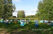 Объявление Продам пчелосемьи, отводки в Алтайском крае